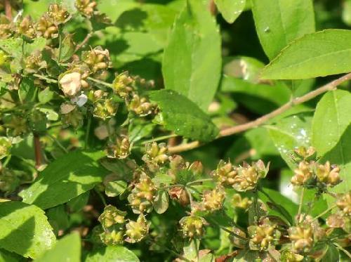 ユキヤナギ 春茶色に熟す小さな種 5個ずつ付く