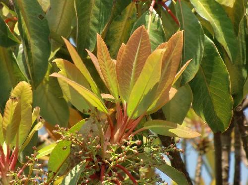 ユズリハ 赤みを帯びた新芽