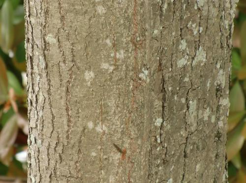 シナノキ 灰白色 樹皮は縦に割れる
