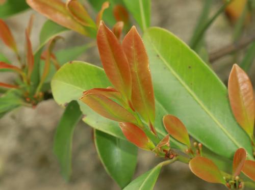 サカキ 赤茶色と鮮やかな黄緑色のグラデーション