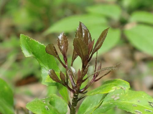 クロキ 黒紫の新芽
