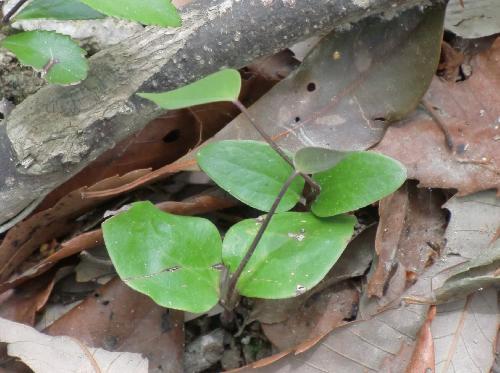 ムベ 卵形の子葉 本葉は紫色