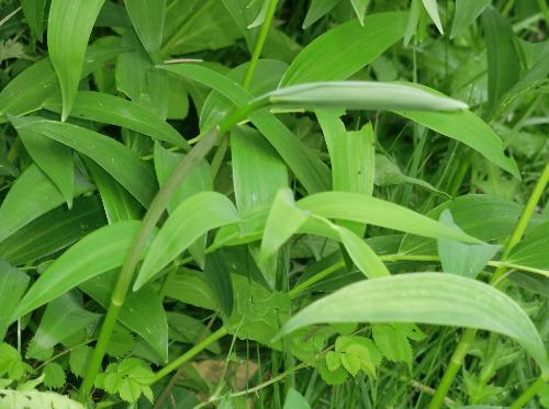 ナルコユリ 緑色でお辞儀をするような形で伸びる