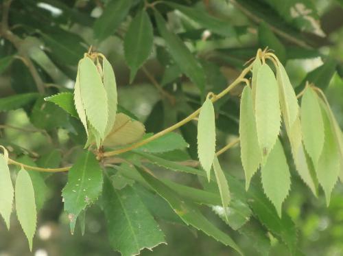 イチイガシ 褐色がかった白緑色 葉はしなだれる