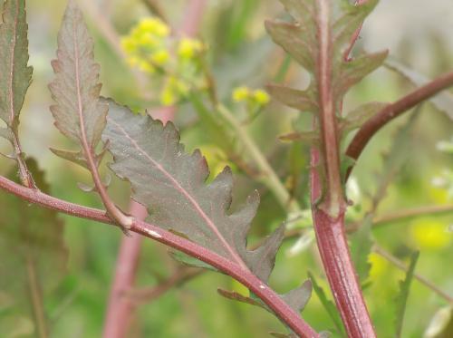 スカシタゴボウ 細長く伸び羽状に切れ込みが入る葉 長楕円形互生鋸歯中裂