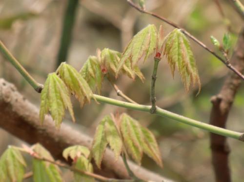 コハウチワカエデ 縁は赤みがかった黄緑色