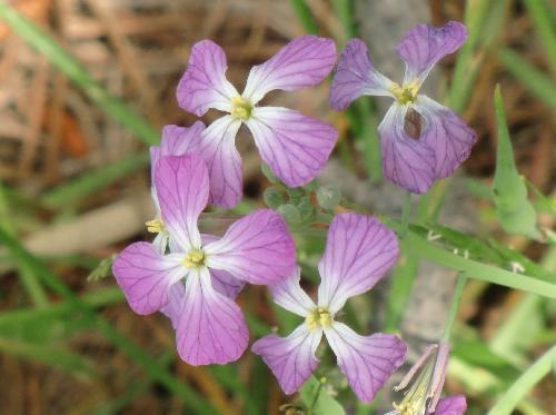 ハマダイコン 春 赤紫色