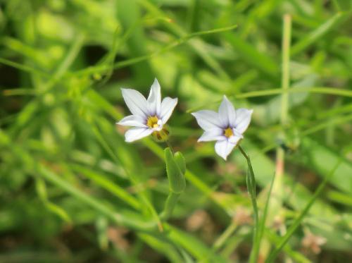オオニワゼキショウ 晩春~初夏 水色(白っぽい青)の小さな花