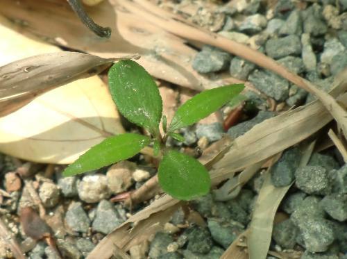 カラスザンショウ 楕円形の子葉