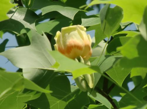 ユリノキ 春 チューリップに似た黄緑色の花