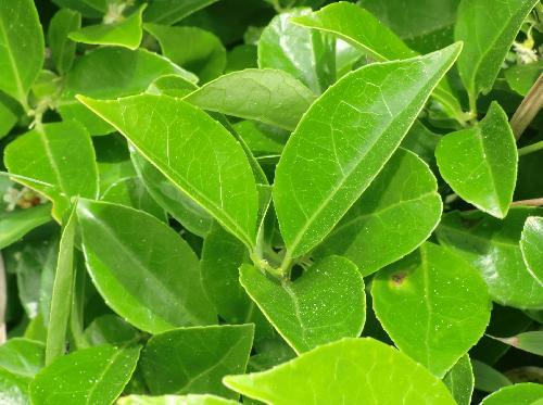 テリハツルウメモドキ 光沢のある楕円形の葉 小鋸歯 互生