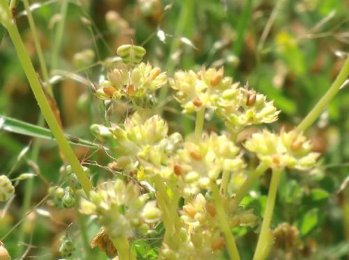 ノヂシャ 晩春 初夏 茶褐色に熟す小さな種子