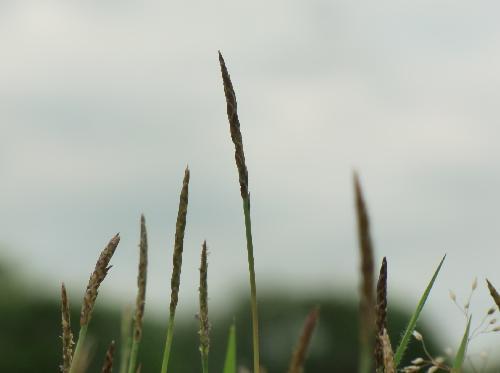 シバ 春 細長い茶色の花穂
