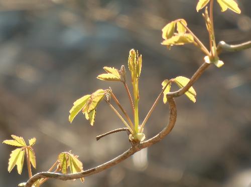 アケビ 赤みを帯びた新芽