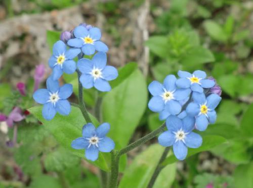 ワスレナグサ 春から初夏 小さな青い花