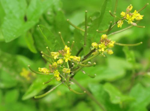 イヌガラシ 春~初夏 極小さな黄色い花