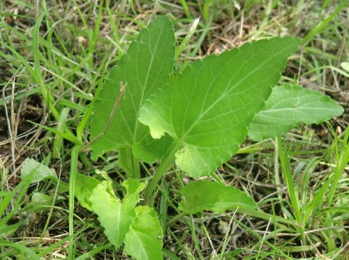 ノジスミレ 夏葉 葉柄に小さい翼がある 腋があく 鋸歯