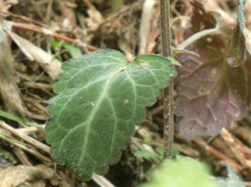 ツクシタツナミソウ 対生 卵形 丸い鋸歯 短毛 葉脈に沿って白筋 葉裏は紫色