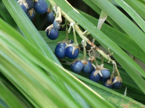 ノシラン 楕円形で秋に青く熟す