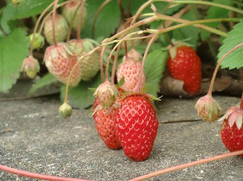 オランダイチゴ 春初夏未熟な実は白く熟すと赤くなる