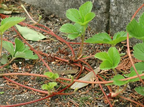 オランダイチゴ 匍匐茎(ランナー)