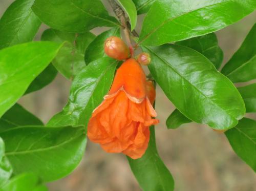 ハナザクロ 初夏 赤橙