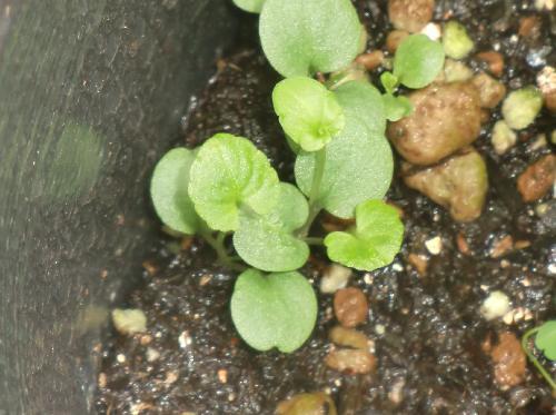 ノジスミレ 丸い子葉