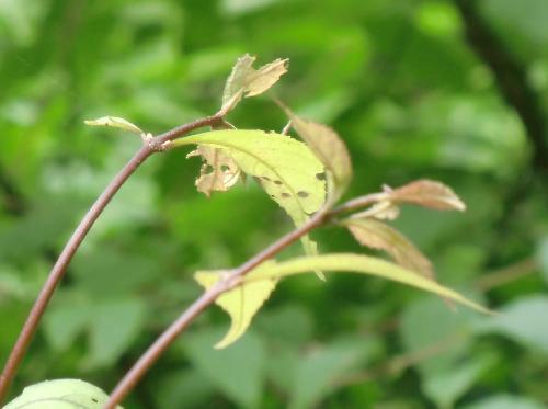 ムラサキシキブ 茎も葉も紫色を帯びる