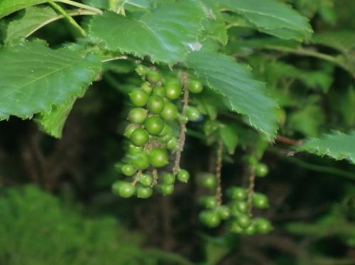キブシ 秋直径1cm足らずの球形の実を房状につける 熟すと黄緑色になる