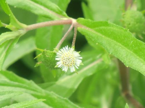 アメリカタカサブロウ 小さな白い花 秋