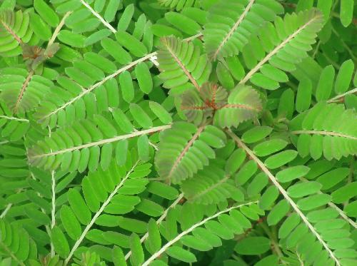 コミカンソウ 小枝に楕円形の小さな葉が互生全縁