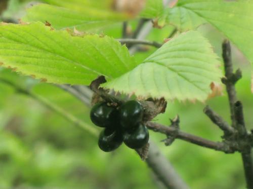 シロヤマブキ 夏秋冬 赤から黒に熟す楕円形の実