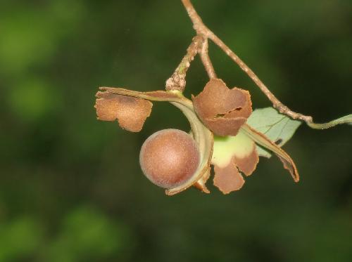 アブラチャン 実は熟すと皮が巻き上がって中から茶色で球形の種子が出てくる