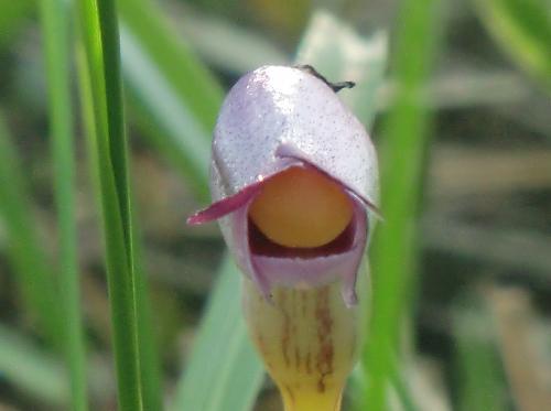ナンバンギセル 秋に赤紫の花 黄色い柱頭