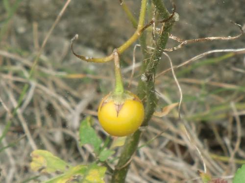 ワルナスビ 秋 黄色に熟す球形の実