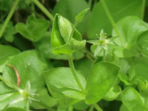 アオハコベ 卵形の葉 全縁 対生 葉柄はない
