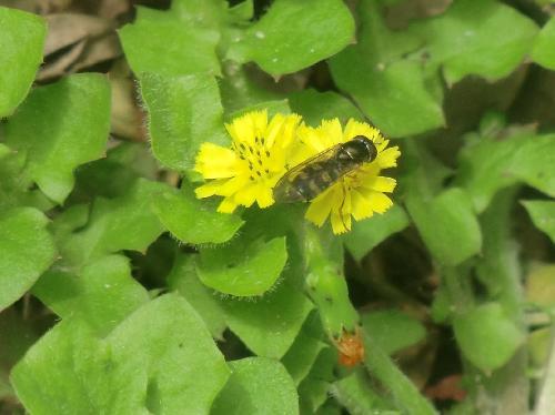 ヤブタビラコ 春 黄色い花