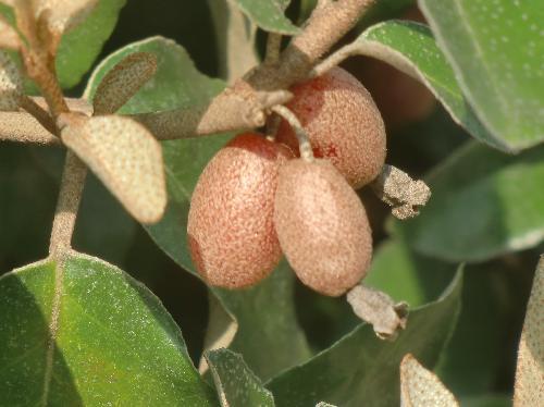 マルバグミ 楕円形の実は春に赤く熟す
