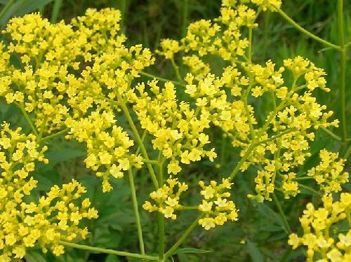 オミナエシ 夏~秋 小さな黄色い花