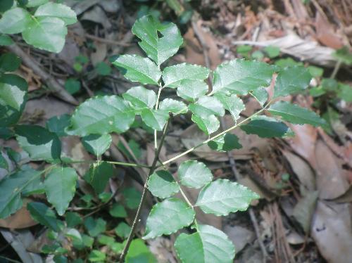 マルバアオダモ 幼木の葉は丸い