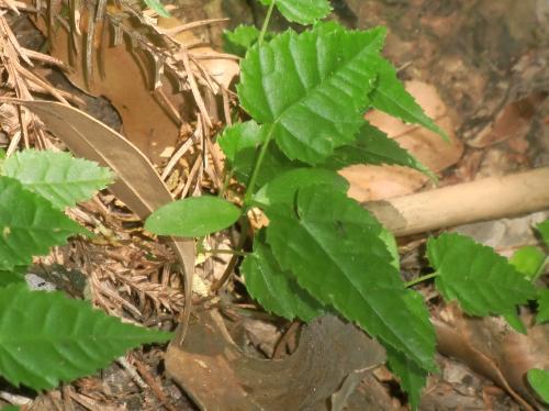 ウリハダカエデ 長楕円形の子葉