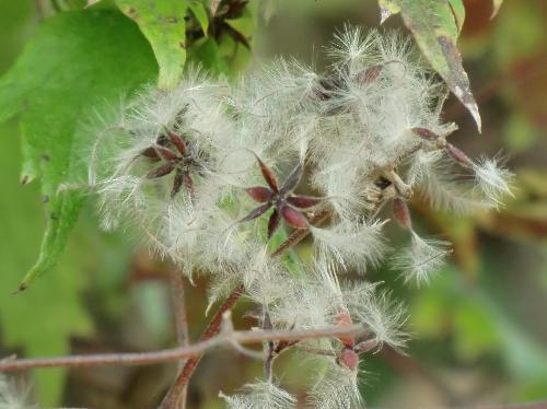 ボタンヅル 細長い種子は数個集まってなる先端に綿毛が付いている