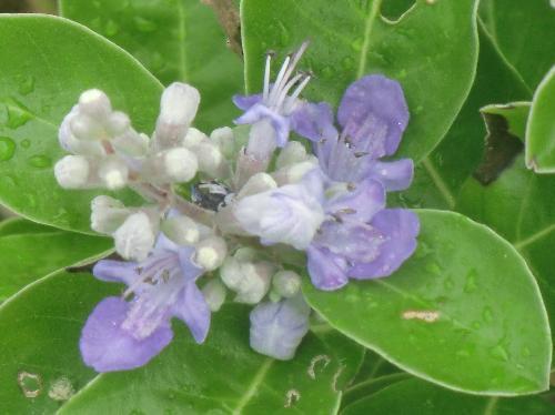 ハマゴウ 夏 青紫色の花