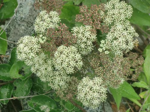 ボタンボウフウ 夏 小さな白い花を多数つける