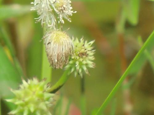 ヒメミクリ 初夏 黄緑色の栗のイガのような雌花