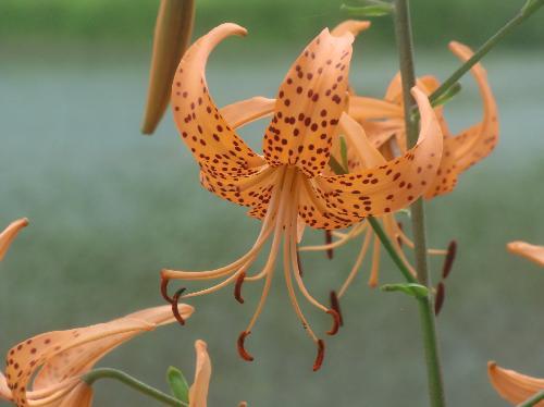 コオニユリ 晩夏 黒い斑点のある赤橙色の花
