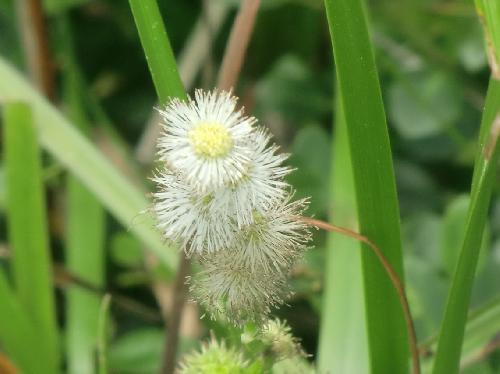 ヒメミクリ 初夏 白い雄蕊目立つ雄花