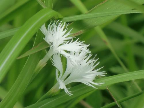 カワラナデシコ 晩夏から秋 白い花