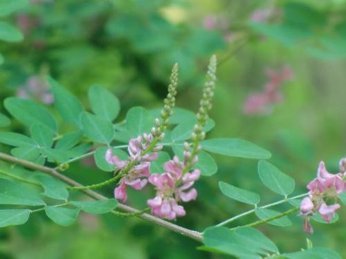 トウコマツナギ 夏~初秋 小さなピンクの花