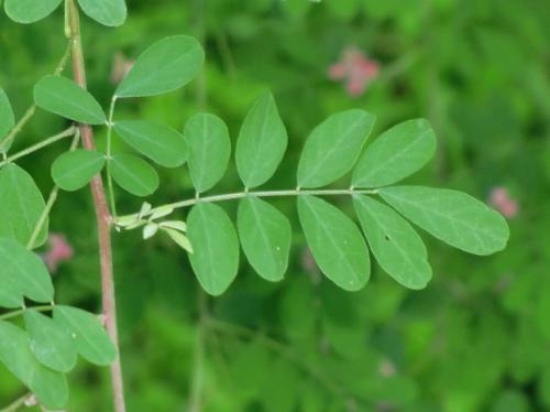 トウコマツナギ 羽状複葉で互生 小葉は全縁の楕円形
